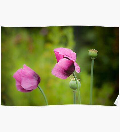 Purple poppies Poster
