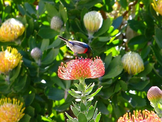 Lesser Double-collared Sunbird on Pincushion by croust