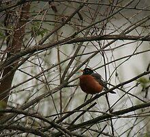 Robin by ffuller