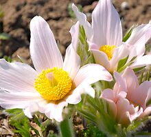 Anemone - Pasque Flower  III  by vbk70