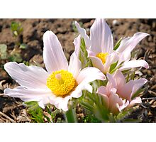 Anemone - Pasque Flower  III  Photographic Print