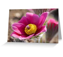 Anemone - Pasque Flower II Greeting Card