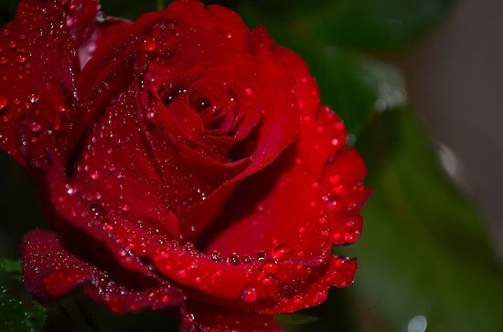 red rose by Nicole W.