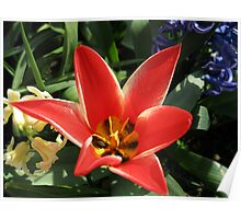 Virbrant Red Tulip and Hyacinths Poster