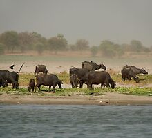 Water Buffalo on the Banks of the Ganges by SerenaB