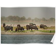 Water Buffalo on the Banks of the Ganges Poster