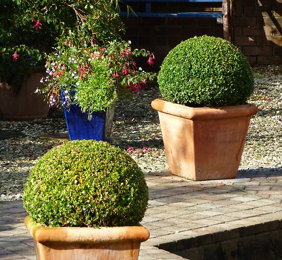 Box Topiary by Fara