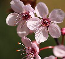Blossoms by PhotoTamara