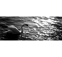 The white swan in the sundown Photographic Print