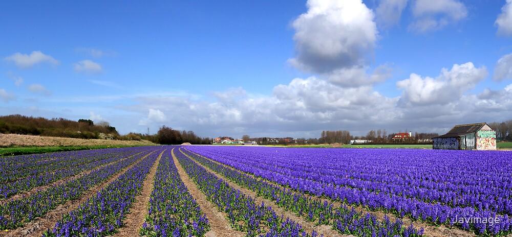 Purple panorama of spring by Javimage