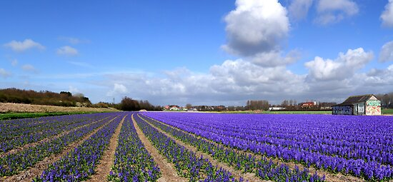 Purple panorama of spring by Javimage