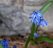 Siberian Squill 2012 by goddarb