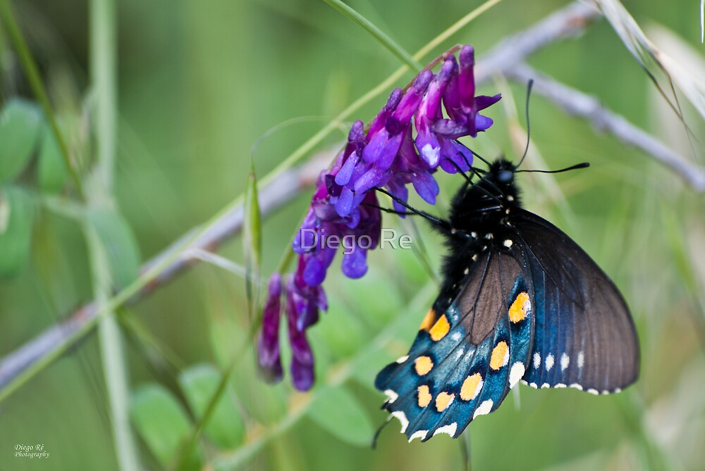 High Contrast Blue Swallowtail by Diego Re
