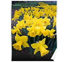 Depth of Daffodil Field Poster