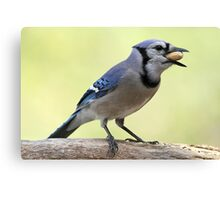 A Satisfied Blue Jay Canvas Print