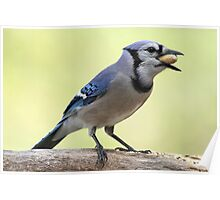 A Satisfied Blue Jay Poster