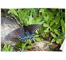 Swallowtail On A Rock Poster