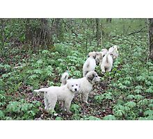 Leading The Way 6 Pyr Puppies Photographic Print
