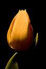 Tulip Portrait by Adam Bykowski