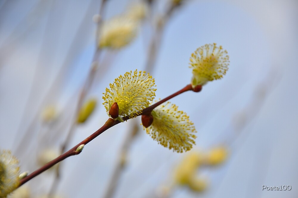 Willow...a sure sign of spring! by Poete100
