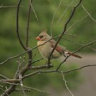 Northern Cardinal female by ffuller