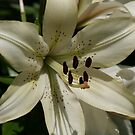 flower- Lily by ffuller