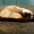 Sleepy Siamese Cat by Hapatography
