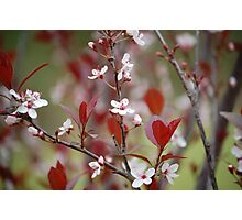 Purple Leaf Plum Blossoms Photographic Print