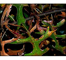 Oak Leaves Photographic Print