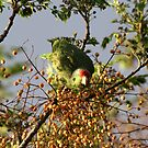 Wild Parrot Eating Berries by DARRIN ALDRIDGE