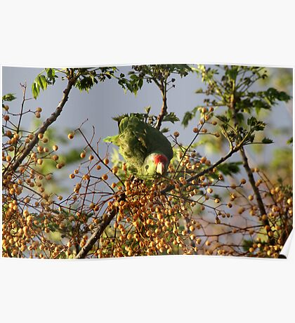 Wild Parrot Eating Berries Poster