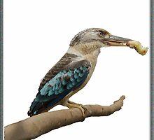 Kookaburra,  Dacelo leachii by Julia Harwood