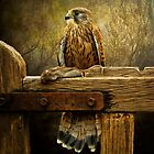 Kestrel and mouse on fence. by Tarrby