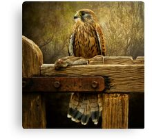 Kestrel and mouse on fence. Canvas Print