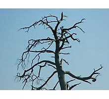 barren tree on blue sky Photographic Print