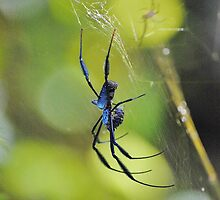 Blue spider, South Africa by Karen01