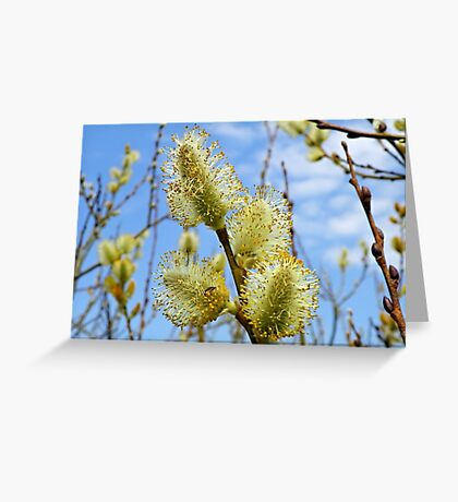 Catkins in spring Greeting Card