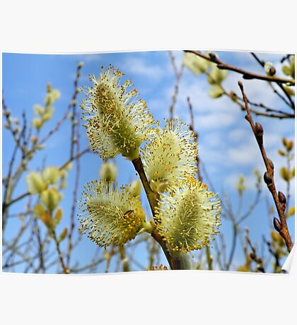 Catkins in spring Poster