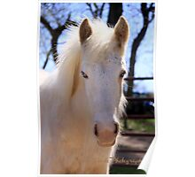 Peaches, the new palamino gypsy vanner foal at Magic Gypsy Ranch Poster
