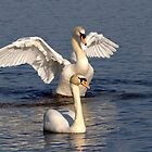 Mute Swans by Margaret S Sweeny