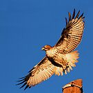 011811 Red Tailed Hawk by Marvin Collins