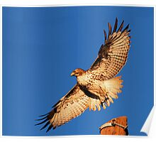 011811 Red Tailed Hawk Poster
