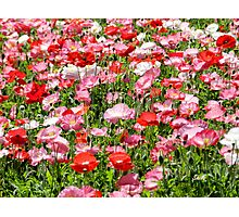 Pink and Red poppy field Photographic Print