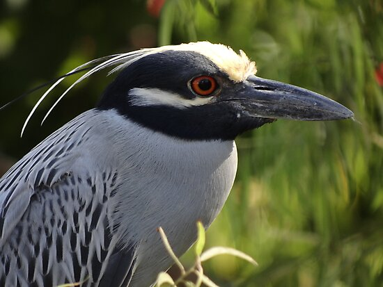Portrait Of A Yellow Crowned Heron - Retrato De Un Garza Coronada Amarilla by Bernhard Matejka