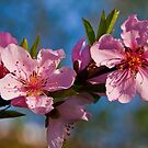 Peach Blossom. by vadim19