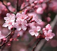 Cherry Blossoms by Jillian Johnston