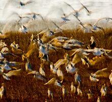 Fevvers - Birds In Flight by melmoth