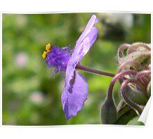 Fuzzy Spiderwort Poster