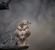 Happenstance Hawk by Daniel  Parent
