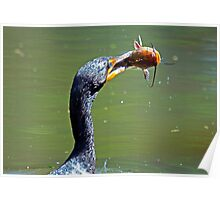 Cormorant Catches Large Cat Fish Poster